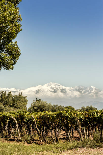 Tupungato´s vineyards in the Mendoza wine region, Argentina. stock photo
