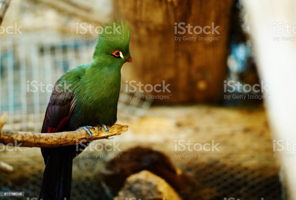 turaco bird stock photo