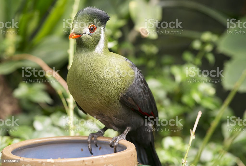 touraco stock photo