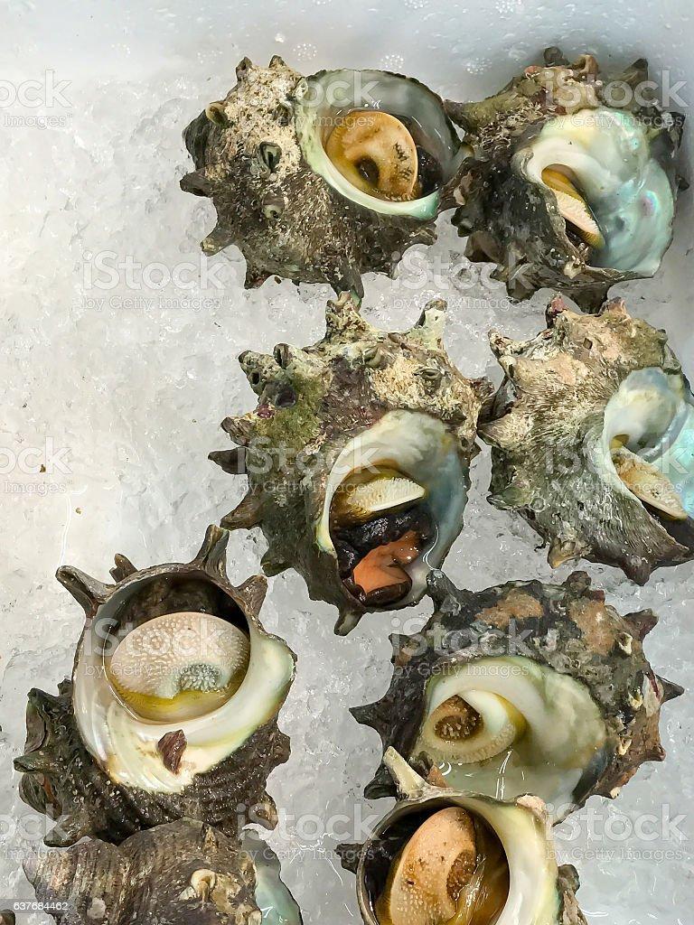 turban shell stock photo