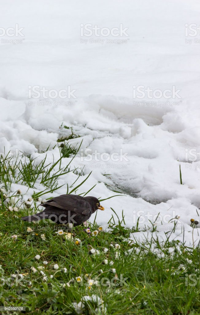Turdus merula (Turdus merula) alighted in a garden with melting snow and appearing grass and flowers, looking for crumbs to feed up, Bulgaria, Apriltsi, March 2018 stock photo