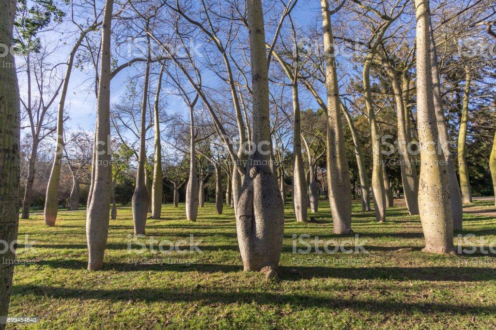Turia River gardens, Jardin del Turia, leisure and sport area in Valencia, Spain, plenty of trees of the variety Ceiba stock photo