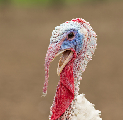 Cock that looks like a turkey