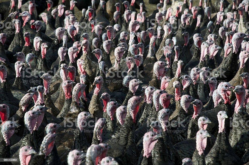 turkey flock stock photo