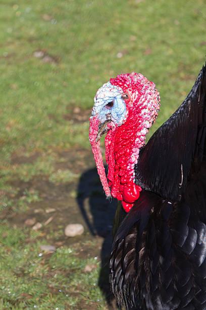 Turkey head detail stock photo