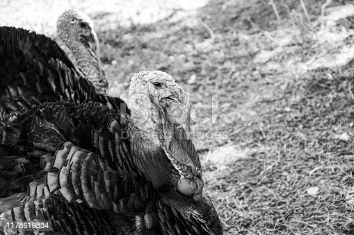 istock Turkey in Black and white 1178619834