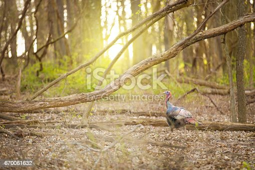 A wild turkey walking in a wooded area.
