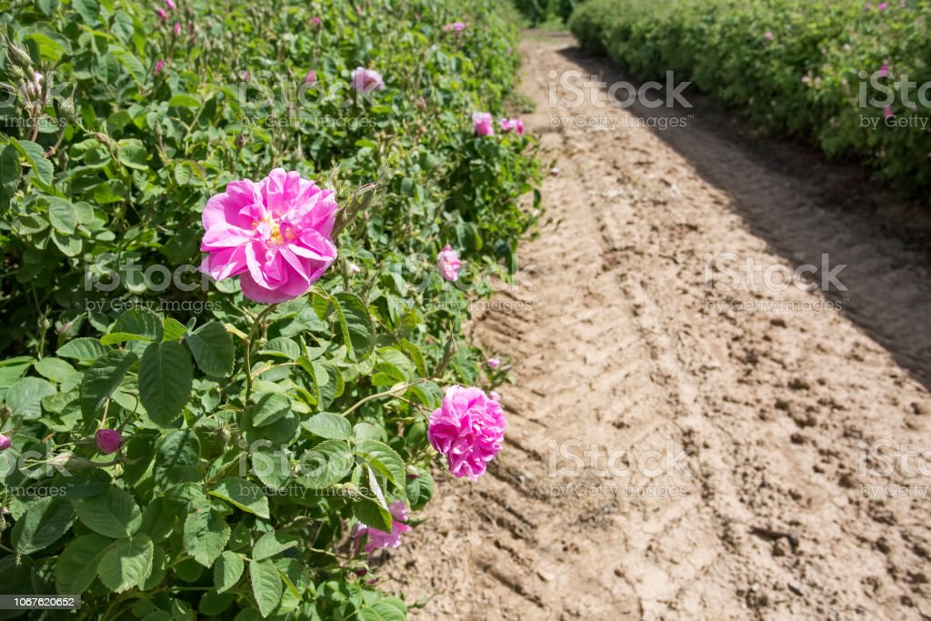 Turkey Isparta rose field agriculture. Pink rose nature.