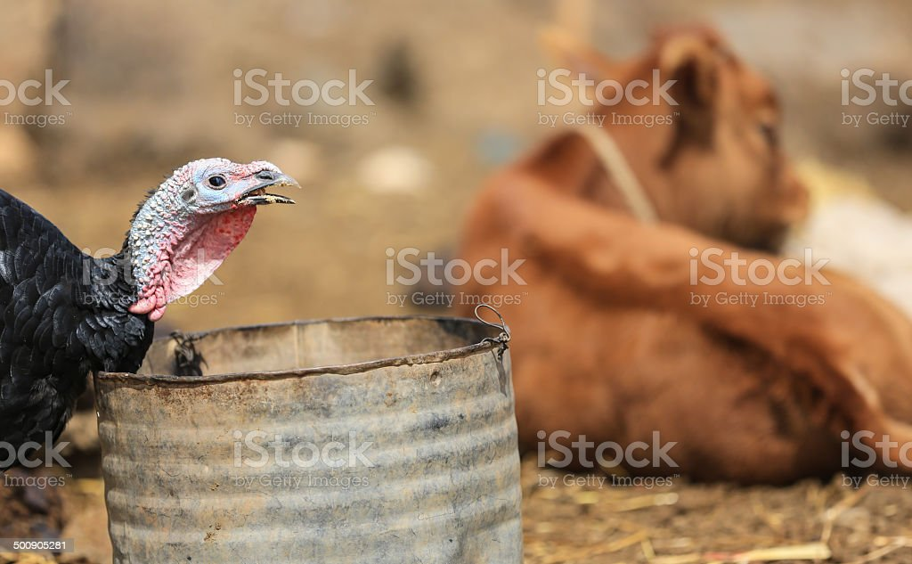 Turkey on a Moroccan farm eating from a trash can royalty-free stock photo