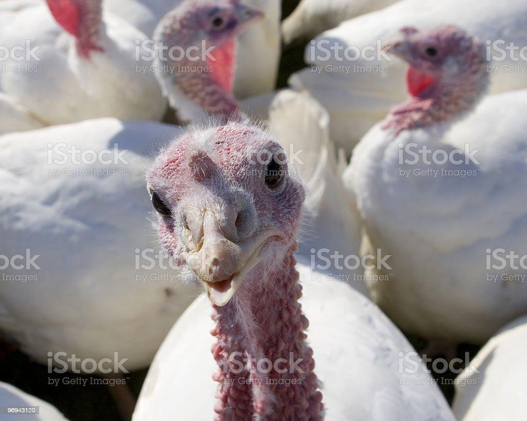 Turkey on the Farm royalty-free stock photo