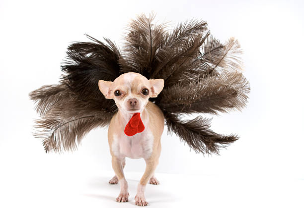 turkey little chihuahua dressing like a turkey for thanksgiving thanksgiving pets stock pictures, royalty-free photos & images
