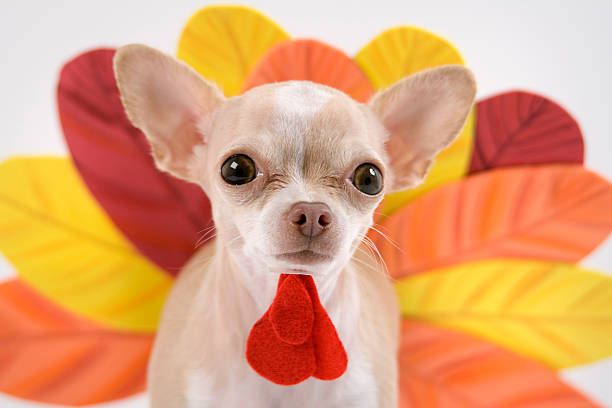 turkey little chihuahua dressing like a turkey for thanks giving thanksgiving pets stock pictures, royalty-free photos & images