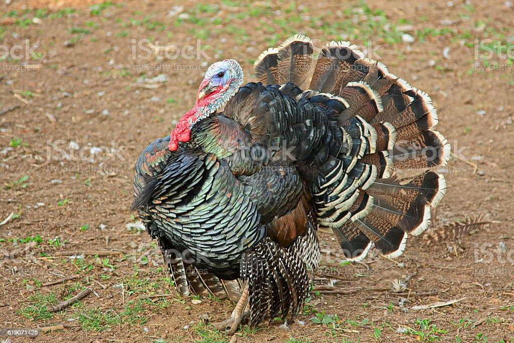 Turkey showing stock photo