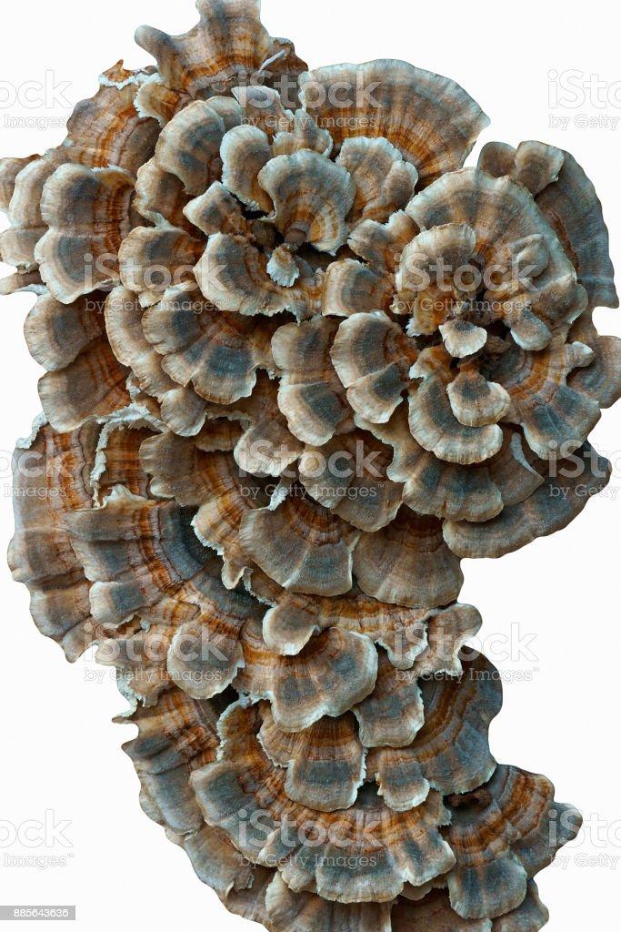 Turkey tail fungus stock photo