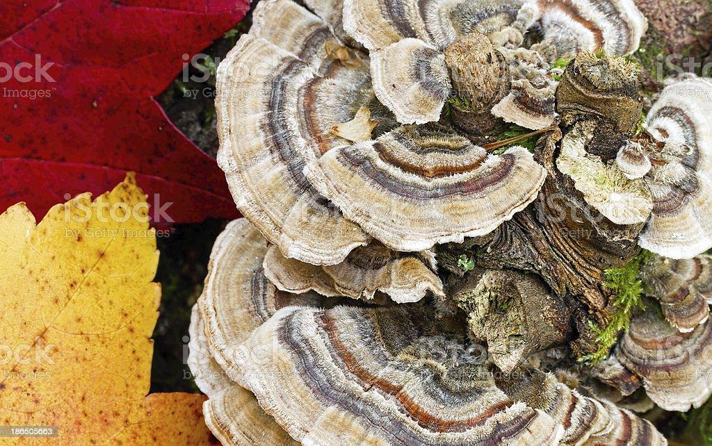 Turkey Tail Mushroom royalty-free stock photo