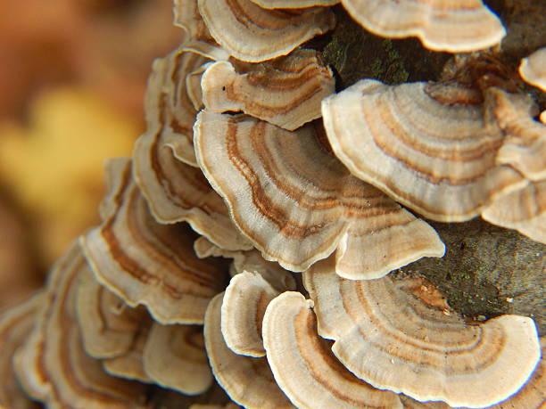 turkey tail polypore - cogumelos imagens e fotografias de stock