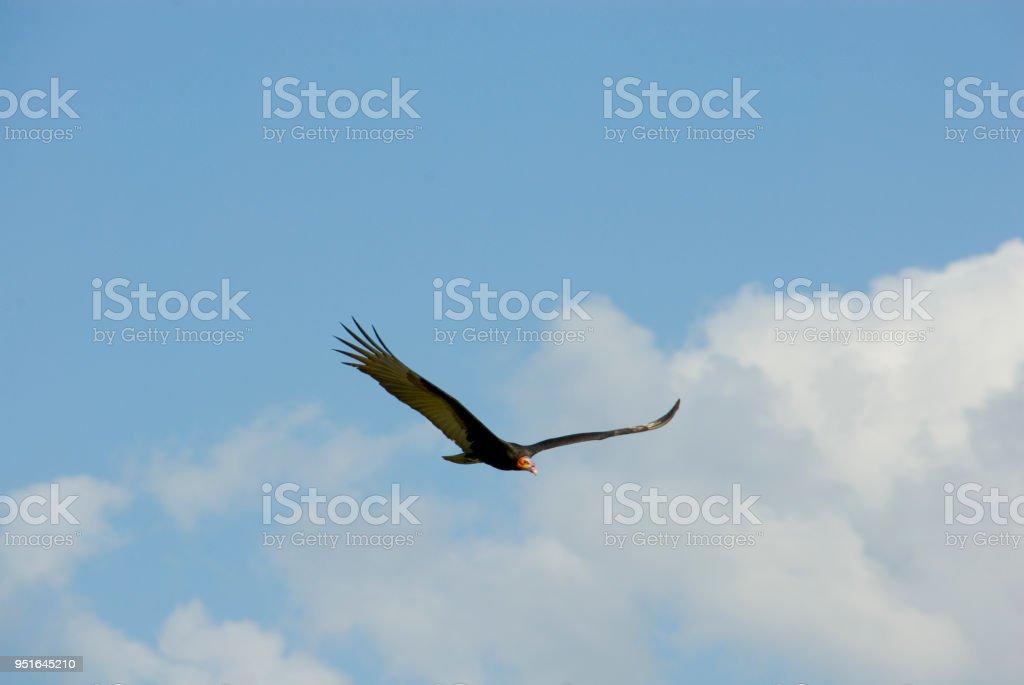Turkey Vulture Cathartes Aura, Mexico stock photo