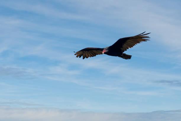 Turkey Vulture Flying stock photo