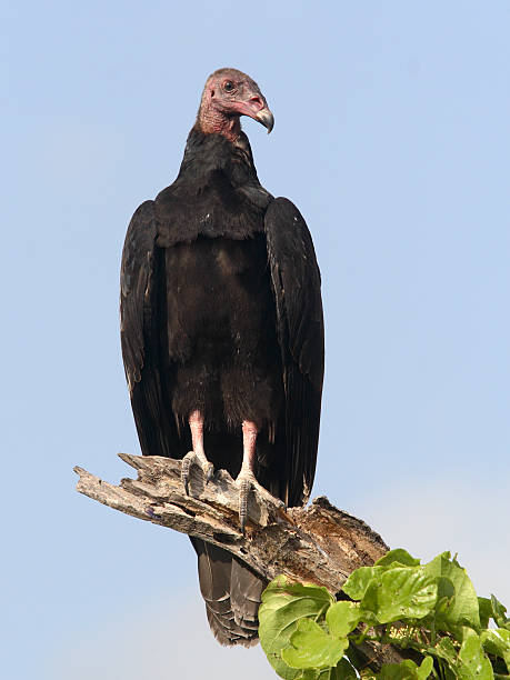 Turkey Vulture observing Surruondings stock photo