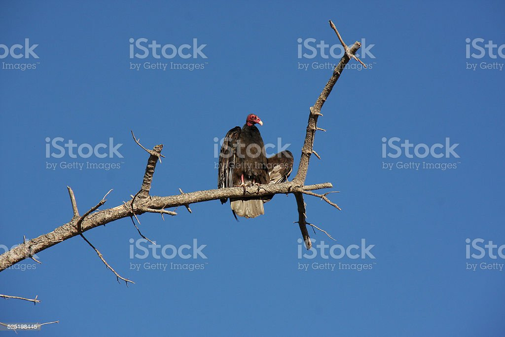 Turkey Vulture on a Dead Branch stock photo