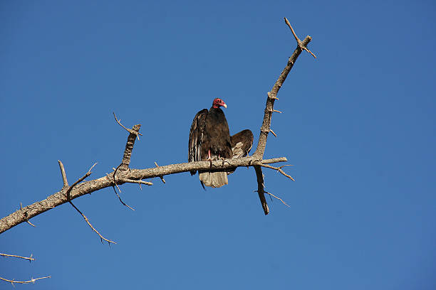 Turkey Vulture on a Dead Branch stock photo