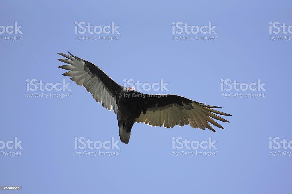 Turkey Vulture (Cathartes aura) royalty-free stock photo