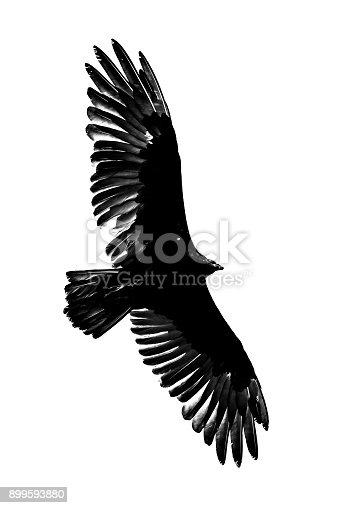 istock Turkey Vulture 899593880