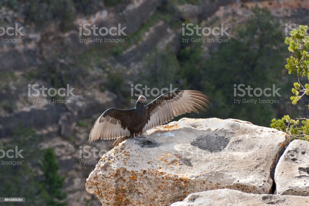 Turkey Vulture Spreading its Wings stock photo