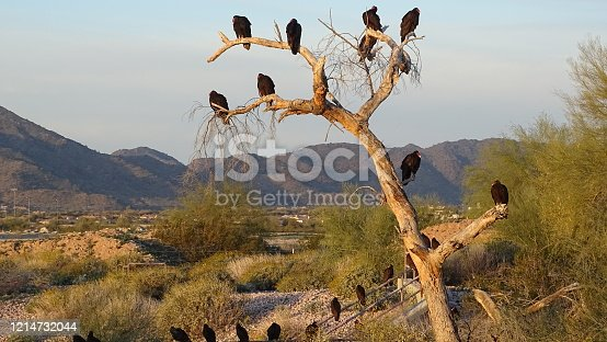 A nearby tree is a roosting spot for the local Turkey Vultures which can range about 30 birds at a time. This is in the  Arizona desert.