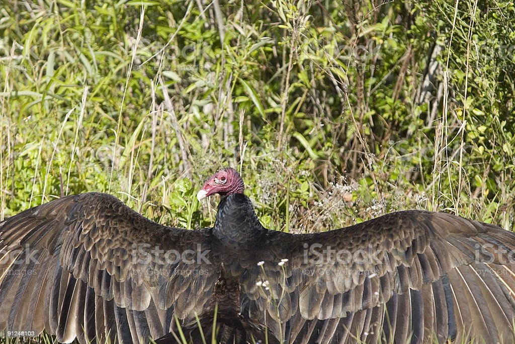 Turkey Vulture Wing Spread royalty-free stock photo