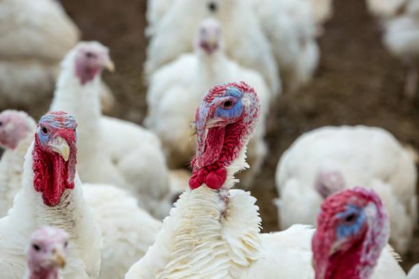 Turkey-poult stock photo