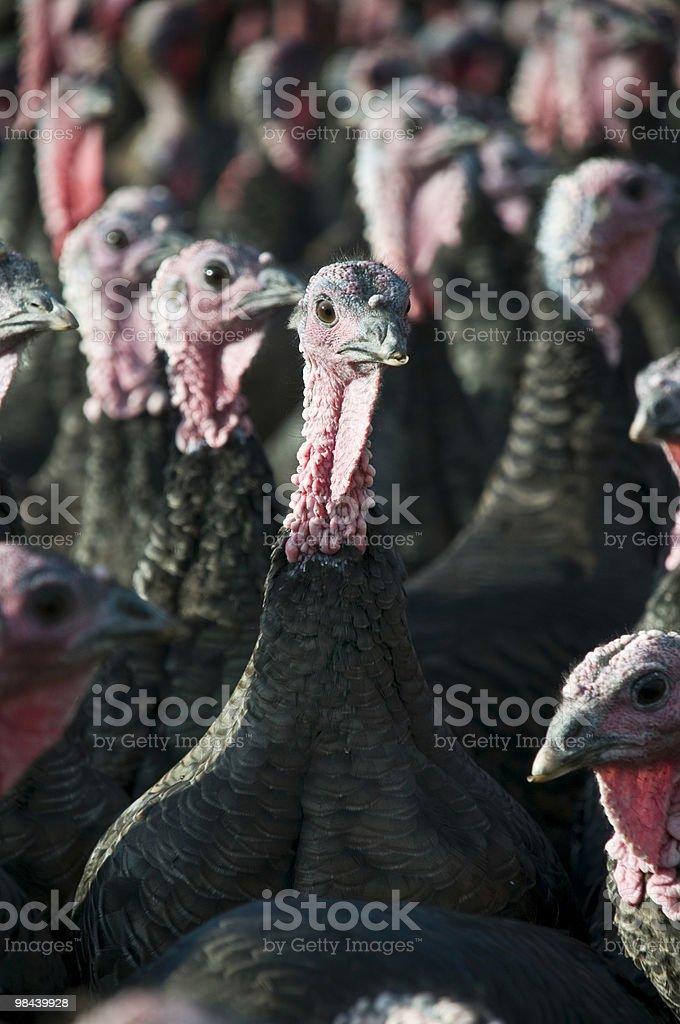 Turkeys 두 royalty-free 스톡 사진