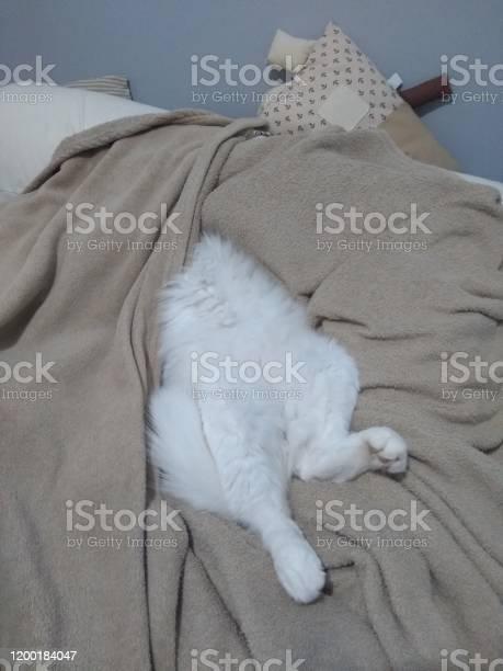 Turkish angora cat picture id1200184047?b=1&k=6&m=1200184047&s=612x612&h=mjr3hoytrwkpnuohgoo8vks 4set4cu6hf1qu1skahw=
