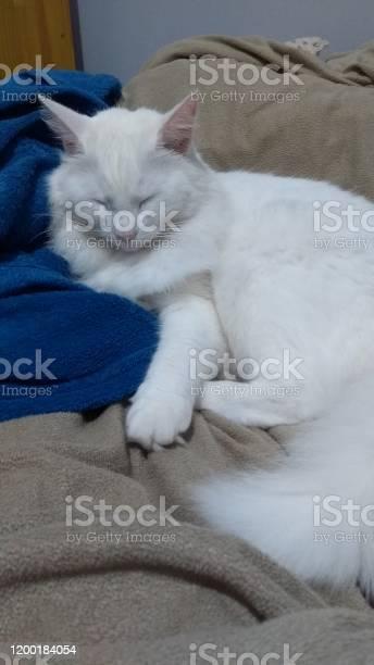 Turkish angora cat picture id1200184054?b=1&k=6&m=1200184054&s=612x612&h=lbz oqbmcddumcpy8 fpiv32vt4dev3kmyo11k0ir g=