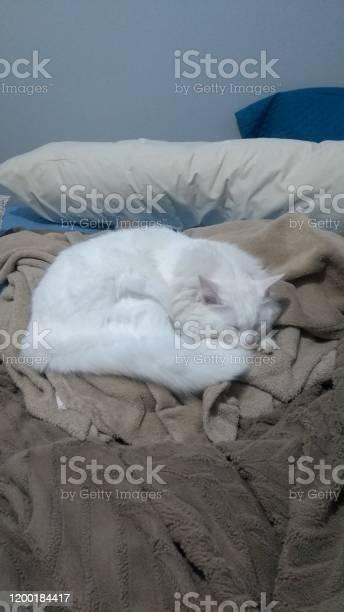 Turkish angora cat picture id1200184417?b=1&k=6&m=1200184417&s=612x612&h=4l87enbruvcesrogadqiqdrjvcx7kmfb2 ypw4cwnwo=