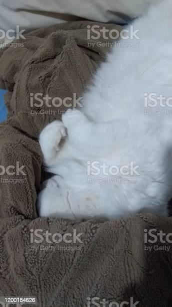 Turkish angora cat picture id1200184626?b=1&k=6&m=1200184626&s=612x612&h=wghechxxju9fu7vbaxyk88zemj24rcvw4hkof0qaobe=