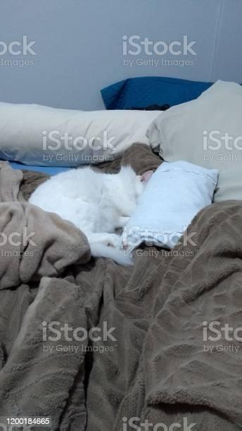 Turkish angora cat picture id1200184665?b=1&k=6&m=1200184665&s=612x612&h=eskwbd9cvq3doyhpgp1l2sptsaugth 8rpryme0l8lw=
