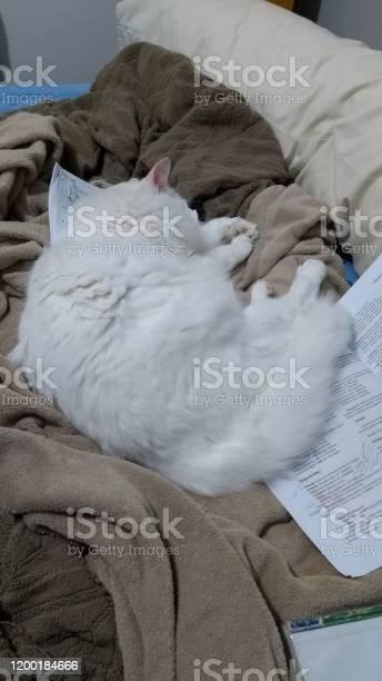 Turkish angora cat picture id1200184666?b=1&k=6&m=1200184666&s=612x612&h=aji41reof35jzip4ekkhprlxgu hymn07elff2m2jsk=