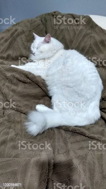 Turkish angora cat picture id1200184671?b=1&k=6&m=1200184671&s=612x612&h=uf3ffockqksjprqjdqf lrkq72yhz4mxxv1ssrld41g=