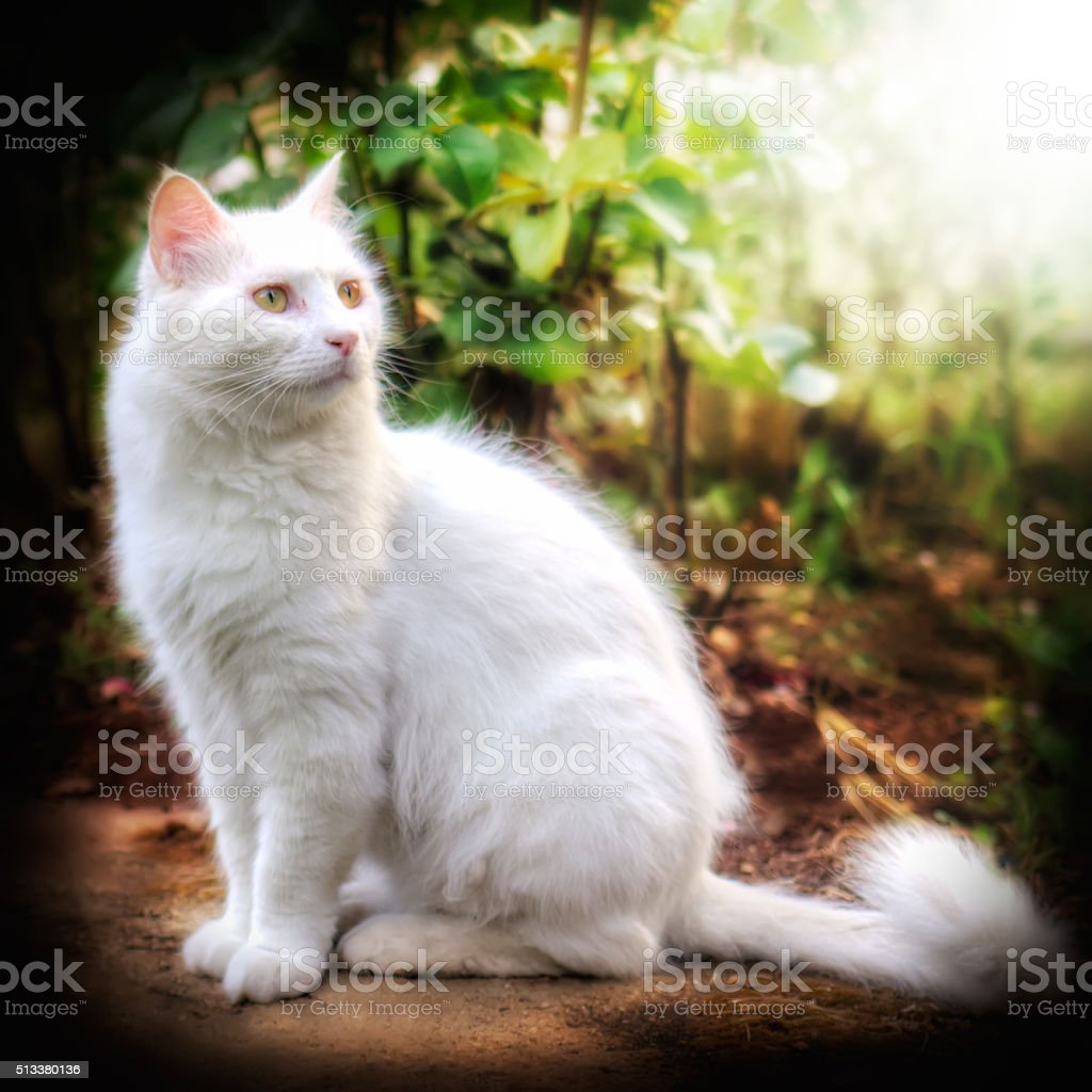 Turkish Angora Cat Stock Photo More Pictures Of Animal Istock