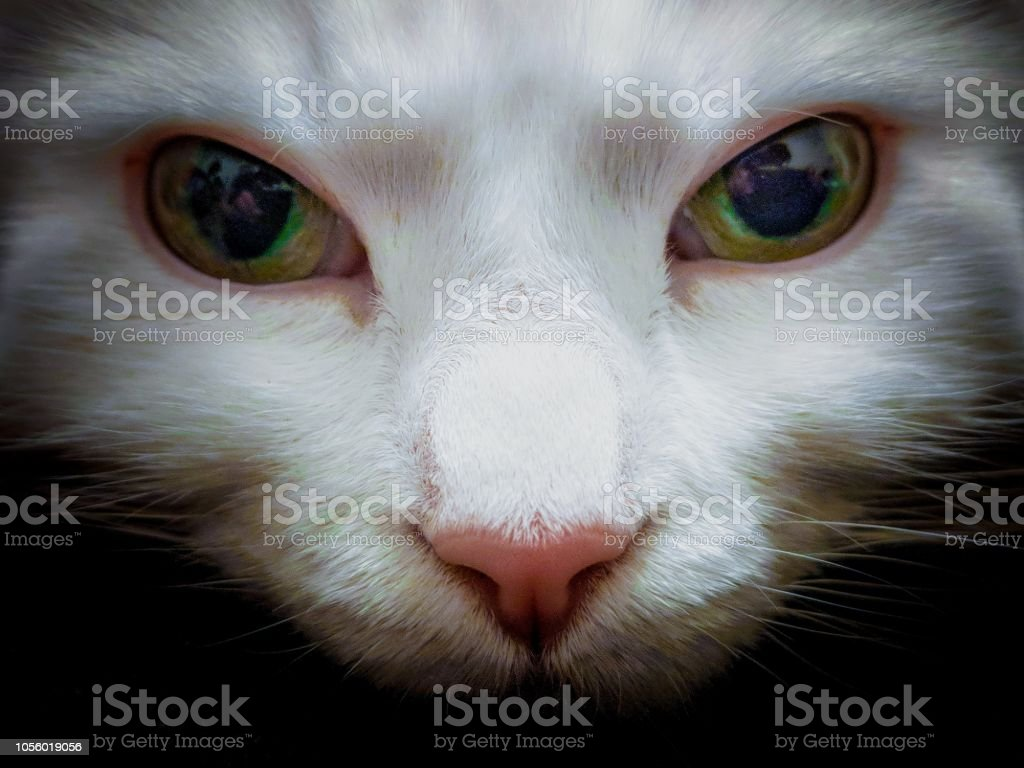 eb76521af1 Turkish Angora Cat Portrait Close Up Stock Photo   More Pictures of ...
