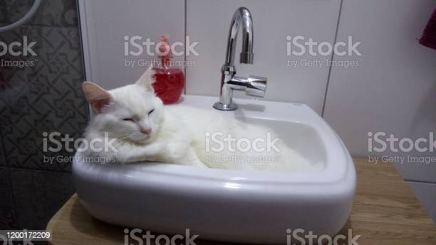 Turkish angora cat sleeping picture id1200172209?b=1&k=6&m=1200172209&s=612x612&h=vt5achwe44iqcds9vkz7x9nivlu g1fnbbqpapcmajo=