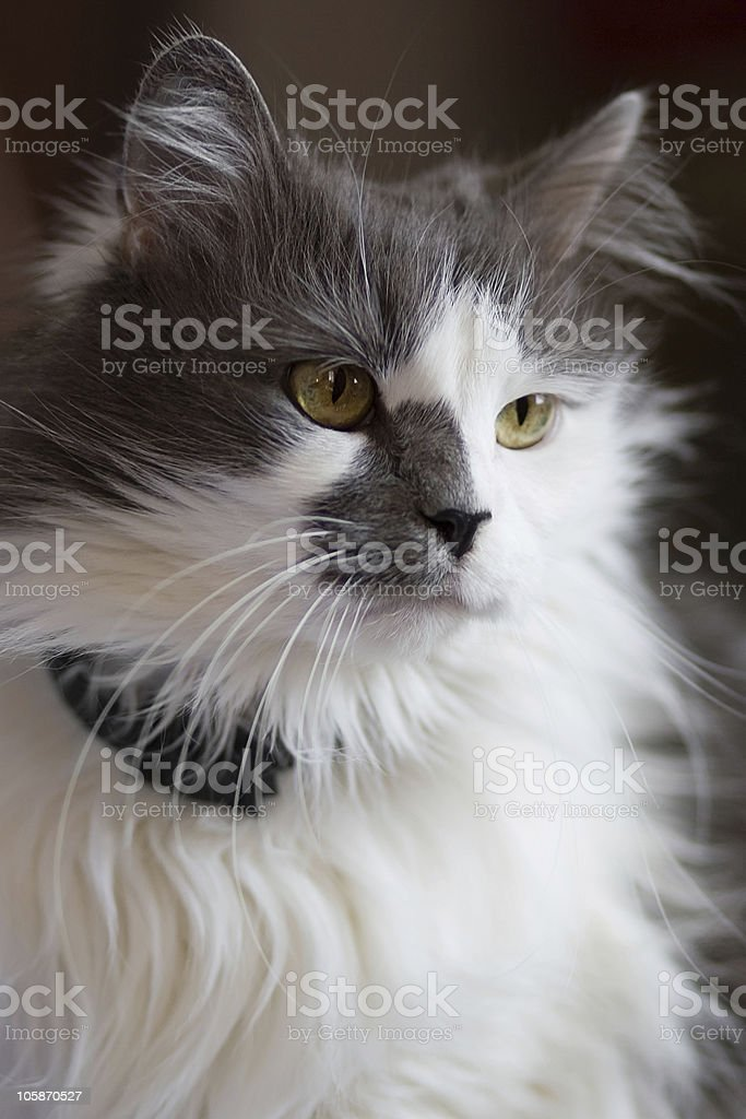 Turkish Angora Mixed With Persian Breed Cat Stock Photo More