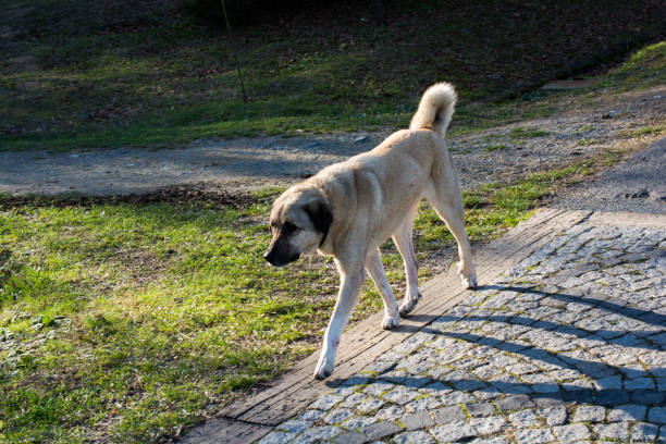 터키 품종 양치기 개 kangal 개를 지키고 - 아나톨리아 뉴스 사진 이미지