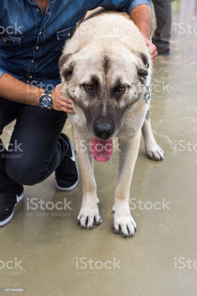 türkische schäferhund
