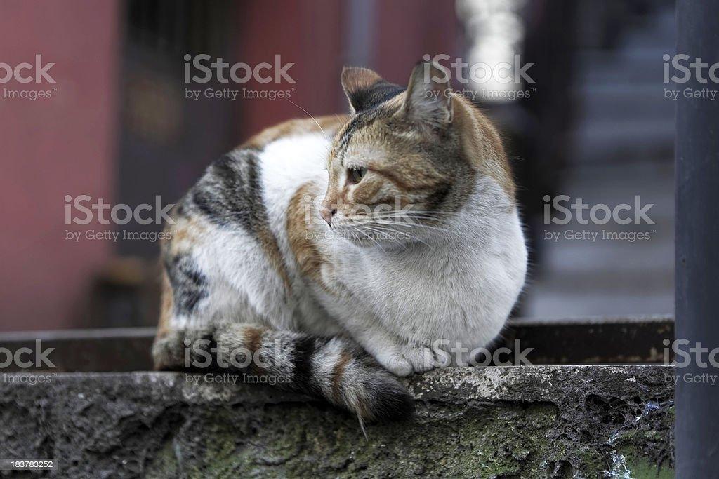 Turkish Cat royalty-free stock photo