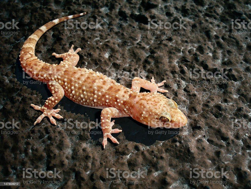 Fotografía de Lagarto Gecko Turco y más banco de imágenes de Animal ...