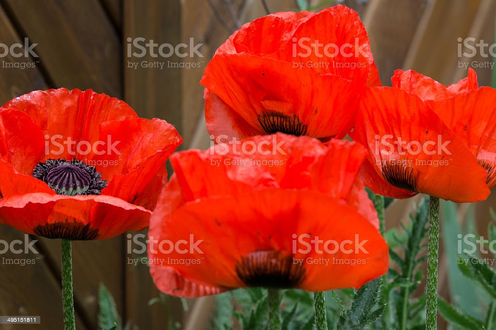 Türkischer Mohn royalty-free stock photo