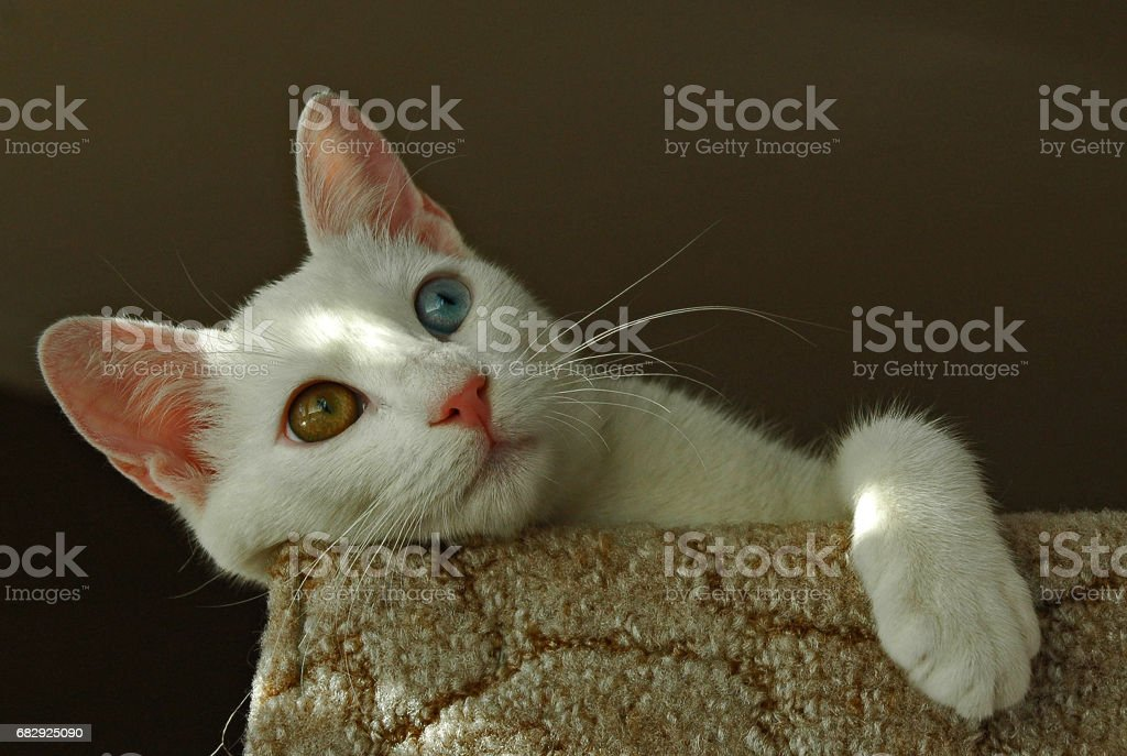 0beaa773ab Turkish Van Cat Stock Photo   More Pictures of Amber