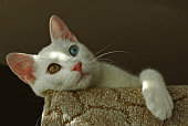The Van cat is a distinctive landrace of domestic cat, found in the Lake Van region of eastern Turkey. Solid-white Turkish angoras carry the epistatic (masking) white colour (W) dominant gene associated with white fur, blue eyes and often deafness. All white Van cats may share this gene. All three types of cat may exhibit eye colours that are amber, blue or odd.